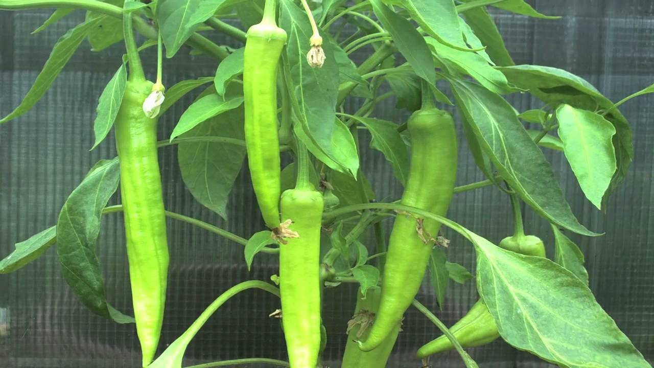 Growing Peppers In Your Vegetable Garden: Growing Peppers Time Lapse