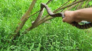 Hổ hèo trèo cây cam và 1 đống hổ hành khu vực mới | Săn bắt SÓC TRĂNG |