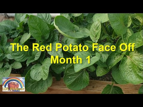 The Great Red Potato Face Off - Month 1
