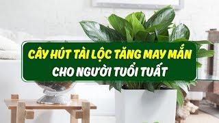 Tuổi Tuất hợp với cây gì?Cây phong thủy tuổi Tuất nên trồng trong nhà, để trên bàn