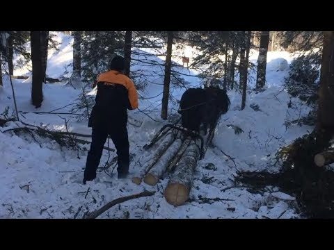 Skogsarbeid med hest på Maihaugen