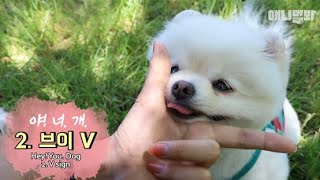 You'll get fomo if you don't watch this Pomeranian.. Cuz it's so cute