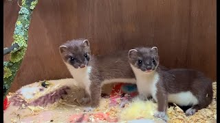 When Two Adorable Stoat Kits Meet for the First Time | Weasel Wildlife Rehabilitation