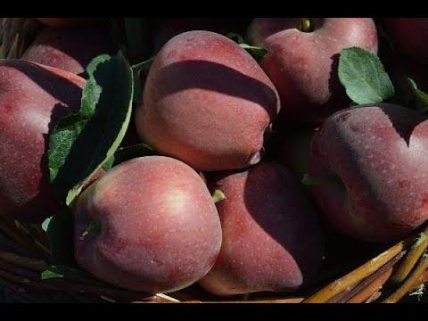 Elazığ'da 'bodur' elma hasadı