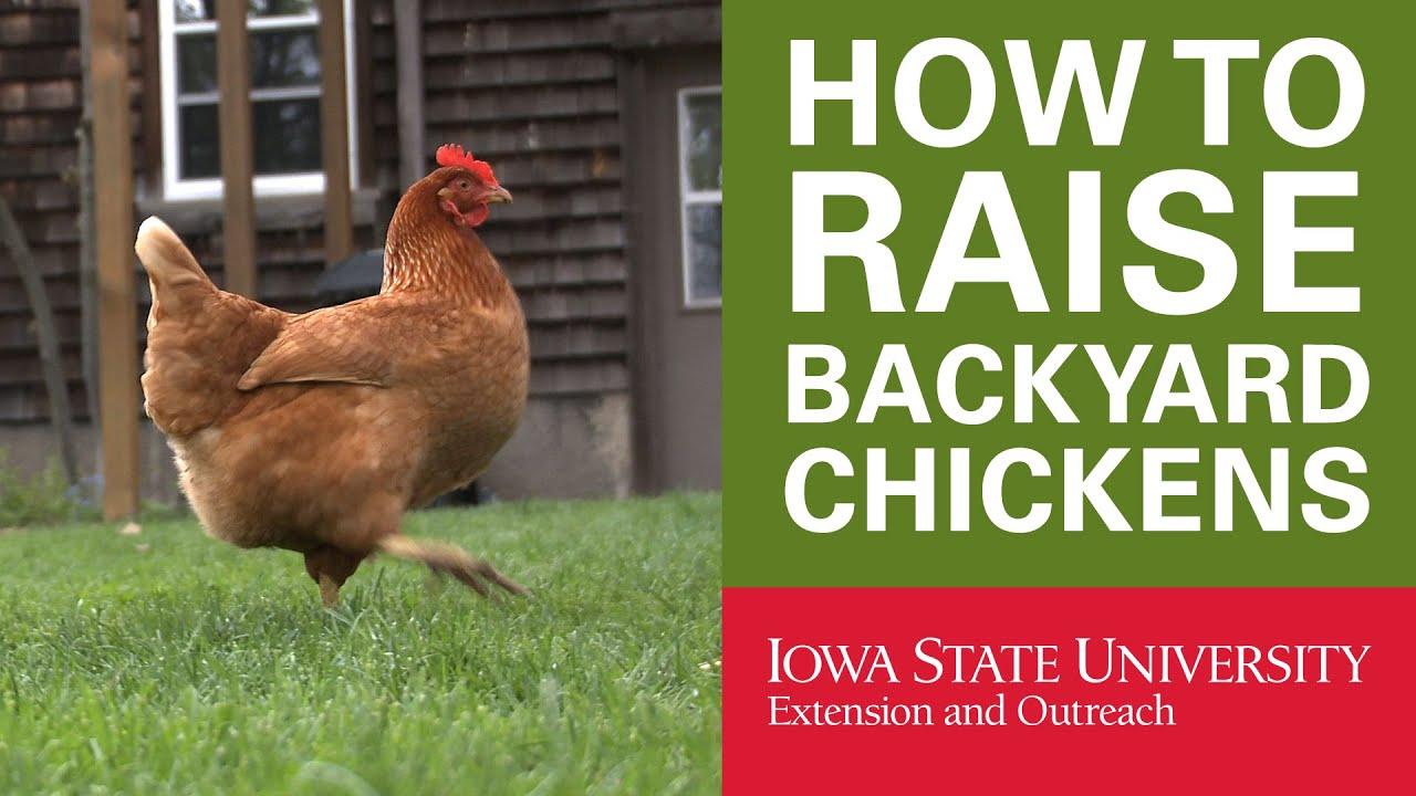 Backyard Chickens: Why Raise Backyard Chickens? - YouTube