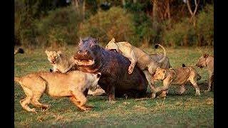 Lions Vs Hippos (Documentary)(Turf Wars)