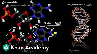 Introduction to nucleic acids and nucleotides | High school biology | Khan Academy