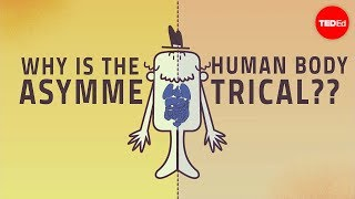 Why are human bodies asymmetrical? - Leo Q. Wan