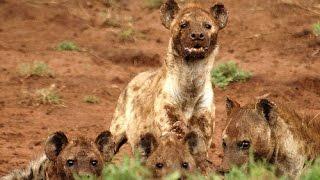 hyenas hunt antelope hienas cazando antelopes