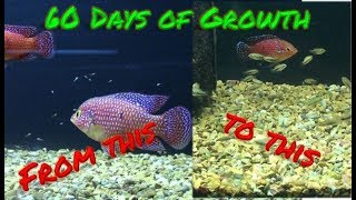 Jewel Cichlid Babies 60 Day Growth Timelapse! | With Parents!