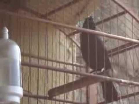 Baixar O Canto do Pássaro Preto
