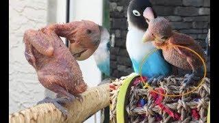 Bỏ hàng chục triệu đồng mua vẹt quý về nuôi mấy tháng trời vẫn trụi lông lốc rụng rời khi biết lý do