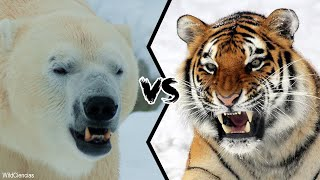 POLAR BEAR VS SIBERIAN TIGER - Who would win a fight?