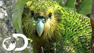 The Strangest Parrot in the World | Modern Dinosaurs