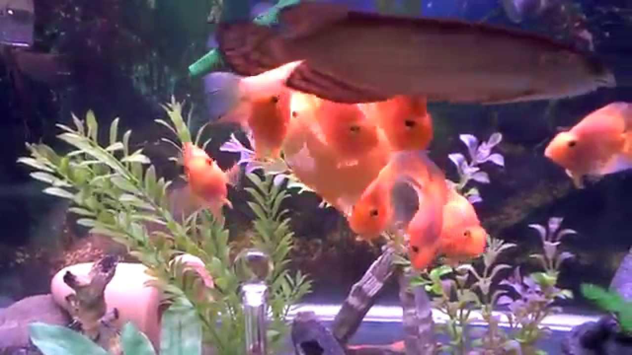 Super Red Blood Parrot Fish 3-4' and Australian Jardini ...