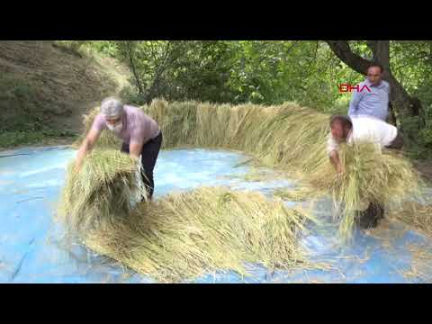 Bitlis'te atadan kalma tohumlarla 1700 rakımda pirinç üretimi