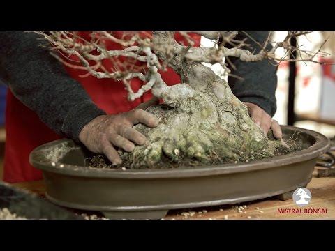 Cómo trasplantar un bonsái. El trasplante.