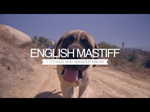 ENGLISH MASTIFFS FIVE THINGS YOU SHOULD KNOW