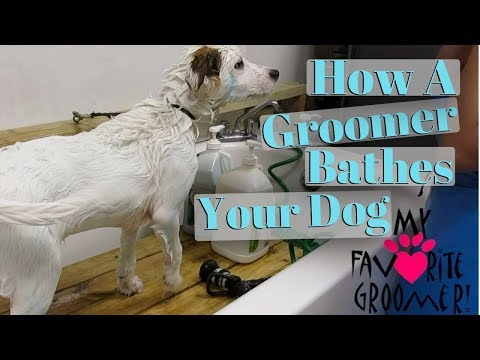 Bathing a dog at a groom shop
