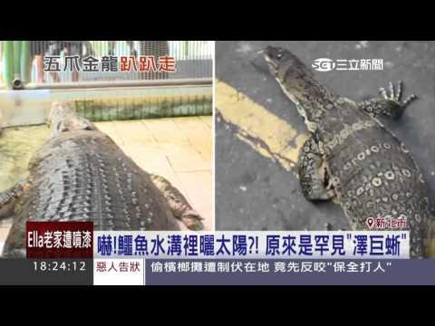 嚇!鱷魚水溝裡曬太陽?原來是罕見「澤巨蜥」│三立新聞台