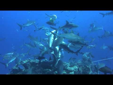 Des plongeurs nourrissent les requins