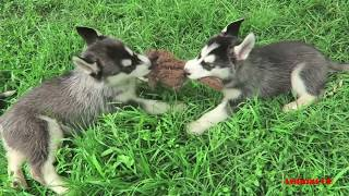 Life of Siberian Husky dog breed- Mom dog gives birth to cute puppies