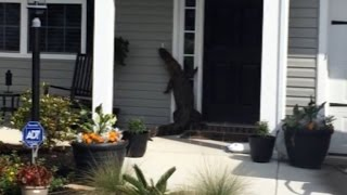 Watch An Alligator Stroll Up To This House And Try To Ring The Door Bell
