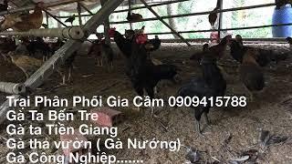 Cung cấp gà ta thả vườn tại Bình Dương,TPHCM, Đồng Nai 0909415788