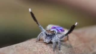 Peacock Spider Dances To Flamenco Music