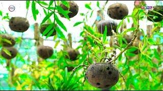 Chậu gáo dừa trồng lan độc đáo của cô giáo Xứ dừa I Khởi nghiệp xanh I BSA Channel
