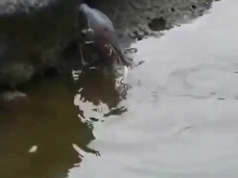 Una garcita verde pescando con pan (Inteligencia y astucia animal)