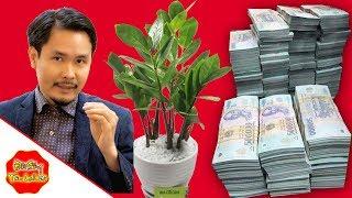 Thầy Phong Thủy Chỉ Vị Trí Đặt 1 CÂY KIM TIỀN Trong Nhà, Chỉ  Sau 1 Đêm Hút Lộc Tiền Bạc Tăng Nhanh