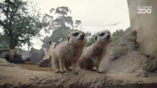 Zoo Tales - Meerkat mob