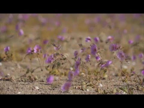 Chile: virágzik az Atacama sivatag egy része