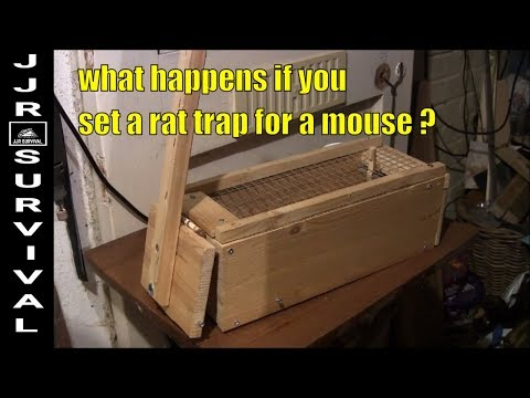 Setting Out A Rat Trap For A Mouse