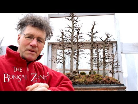 My Larch bonsai forest, Part 1, The Bonsai Zone, April_2018