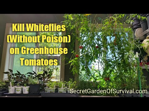 How to Kill Whiteflies (without poison) on Greenhouse Tomatoes