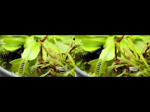 Carnivorous Plants Venus fly trap eats woodlouse real 3D Stereo Venusfliegenfalle und Kellerassel