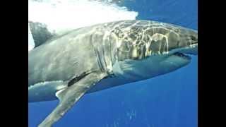 ホオジロザメ36