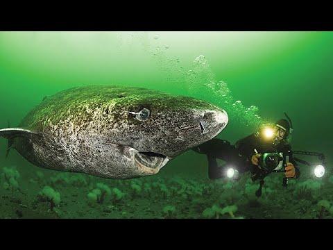 Oldest Shark in the World - 512 Year Old Greenland Shark