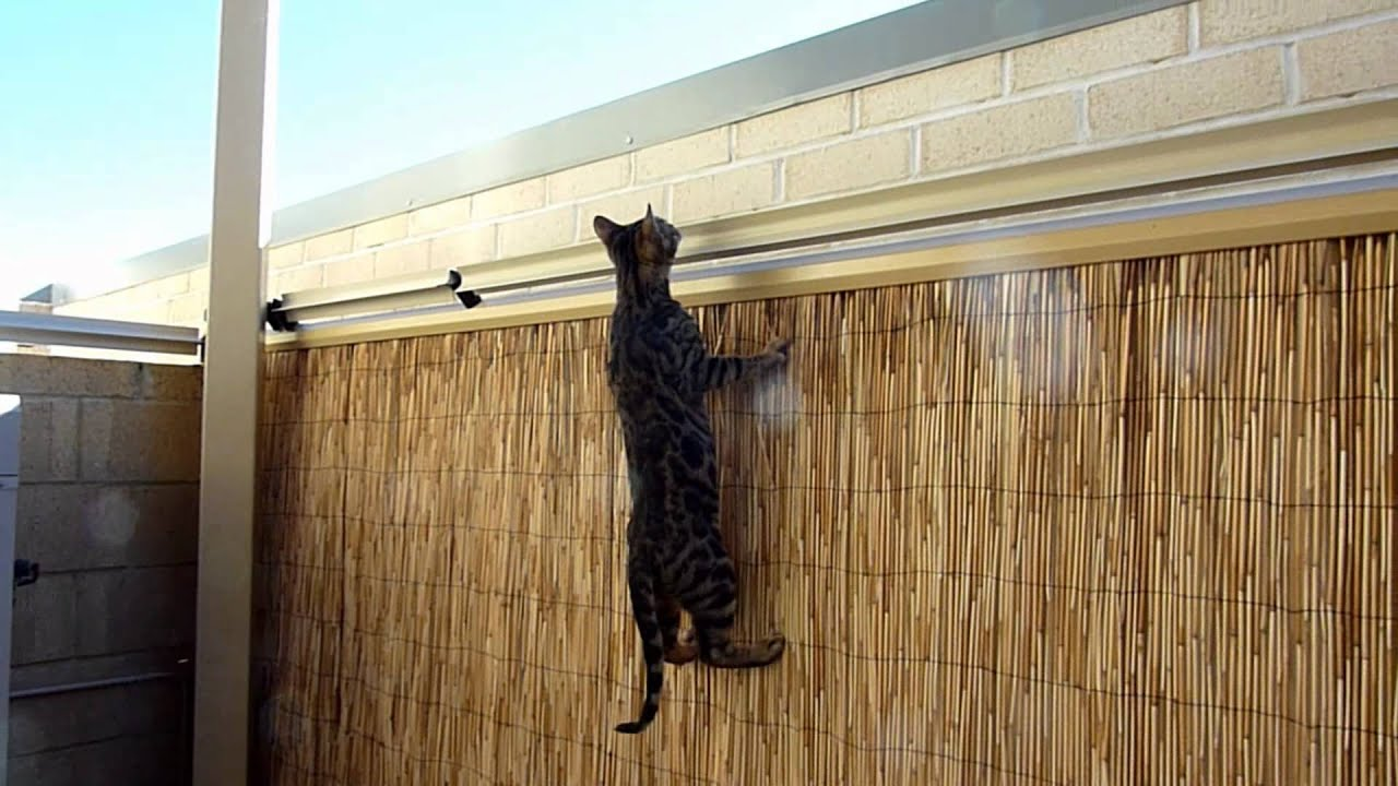 Bengal Kitten Vs Oscillot Cat Containment System Youtube