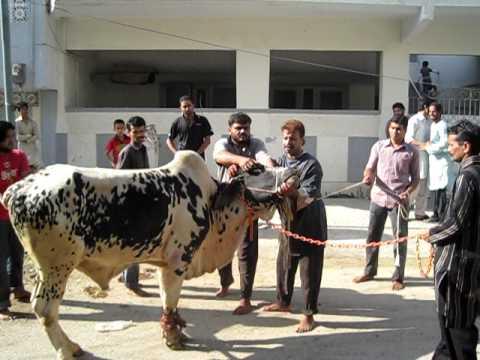 COW QURBANI IN KARACHI F B AREA BLOCK 12. by javad - YouTubeQurbani Cow 2009