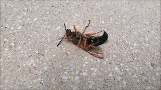 I Got Stung by a Cicada Killer Wasp | My Arm has Swollen Up Bad 🙊
