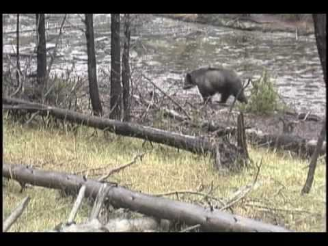 Grizzly bears in the Northern Rockies