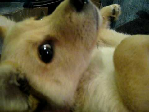 pomeranian lab mix my cute puppy pomeranian and chow chow mix puppy looks 2536