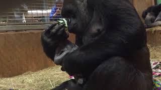 Nema ljubavi do ljubavi majke: Gorila izljubila novorođenče tek što ga je donijela na svijet