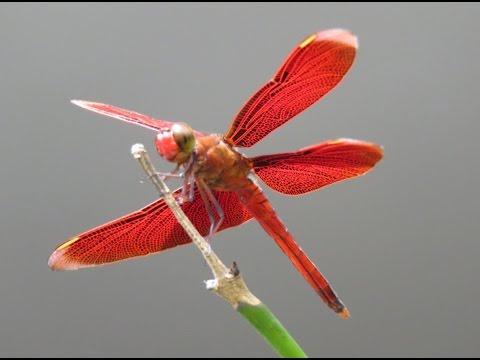 人類史上第一次!極度近拍紅蜻蜓