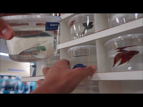 BETTA FISH SHOPPING! *EXOTIC FISH FEEDING*