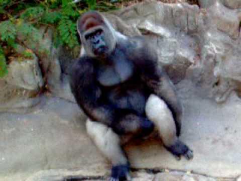 Off gorilla jerking