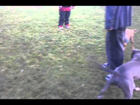 Gotti and Baby pitbull play.